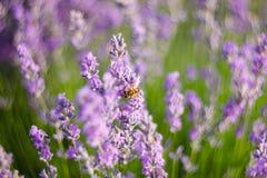 Пчела опыляет лаванду Стоковые Фотографии RF