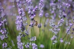 Пчела опыляет лаванду Стоковое фото RF
