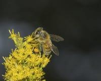 Пчела опыляет желтый цветок стоковое изображение