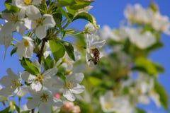 Пчела опыляет цветки яблока Стоковые Фото