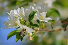Пчела опыляет цветок яблока Стоковые Фотографии RF