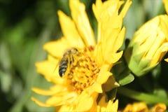 Пчела опыляя желтую маргаритку сток-видео