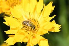 Пчела опыляя желтую маргаритку акции видеоматериалы