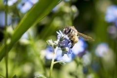 Пчела опыляя цветок Стоковое фото RF