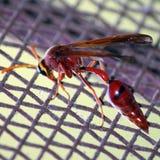 Пчела оси Стоковое Фото