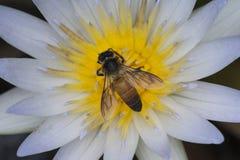 Пчела лотоса и меда Стоковая Фотография RF