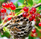 пчела одичалая Стоковое Изображение