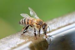 Пчела питье Стоковые Изображения