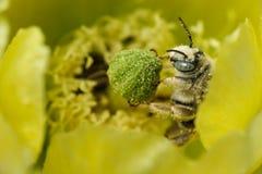 пчела покрыла цветень Стоковые Фотографии RF