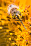пчела покрыла цветень Стоковые Изображения