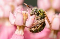 Пчела пота Стоковая Фотография