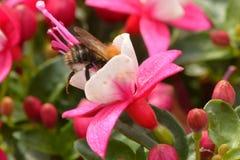 Пчела подавая на фуксии Стоковые Фото