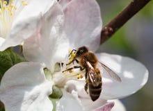 Пчела подавая на цветке яблока Стоковые Изображения