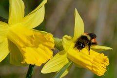 Пчела подпоясанная красным цветом Стоковое Изображение RF
