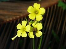 Пчела получая цветень на желтом щавеле цветка Стоковые Изображения