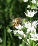 Пчела принимая  Стоковые Фотографии RF