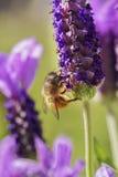 пчела путает лаванда Стоковая Фотография RF