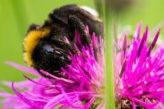 пчела путает макрос Стоковые Фотографии RF