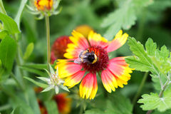 пчела путает цветок Стоковая Фотография RF