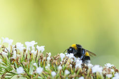 пчела путает цветок Стоковое Фото