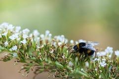 пчела путает цветок Стоковые Фотографии RF