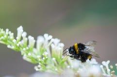 пчела путает цветок Стоковые Изображения RF