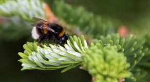 пчела путает Стоковое Фото