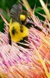 пчела путает Стоковые Изображения RF