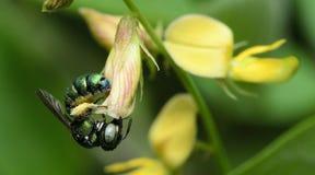 Пчела, пчела красивая стоковая фотография rf