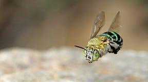 Пчела, пчела красивая стоковые фотографии rf