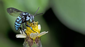 Пчела, пчела красивая стоковое фото