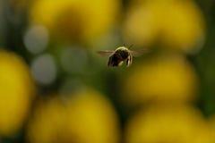 Пчела плотника в полете Стоковые Изображения RF