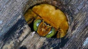 Пчела плотника в полости на деревянном акции видеоматериалы