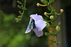 Пчела плотника летания Стоковое Изображение