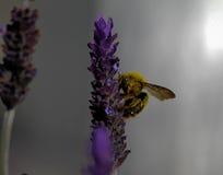 Пчела плотника на фиолетовом цветке лаванды - детальном конце вверх Стоковая Фотография RF