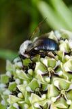 Пчела плотника Стоковые Фотографии RF