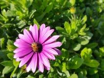 Пчела работает крепко Стоковая Фотография RF