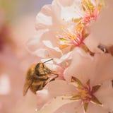 Пчела работника на вишневых цветах Стоковое фото RF