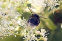 Пчела себя Стоковые Изображения RF