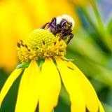 Пчела себя Стоковое Изображение RF