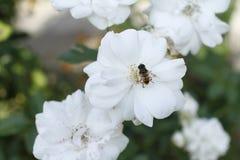 Пчела сидит на белом цветке Стоковое Фото