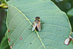 Пчела сидит на части грецкого ореха Стоковое Фото