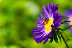 Пчела сидит на Astra Стоковое Изображение