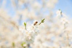 Пчела сидя на белом цветя дереве Стоковые Фотографии RF