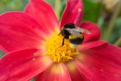 Пчела сидя на красивом красном цветке Стоковое фото RF