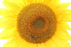 Пчела сидя на солнцецвете Стоковые Изображения