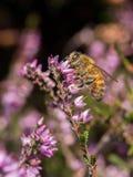 Пчела сидя на стороне вереска Стоковые Изображения RF
