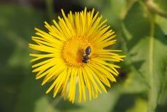 Пчела сидя на цветке Стоковые Изображения