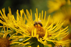 Пчела сидя на цветке Стоковое Фото