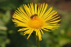 Пчела сидя на цветке Стоковое фото RF